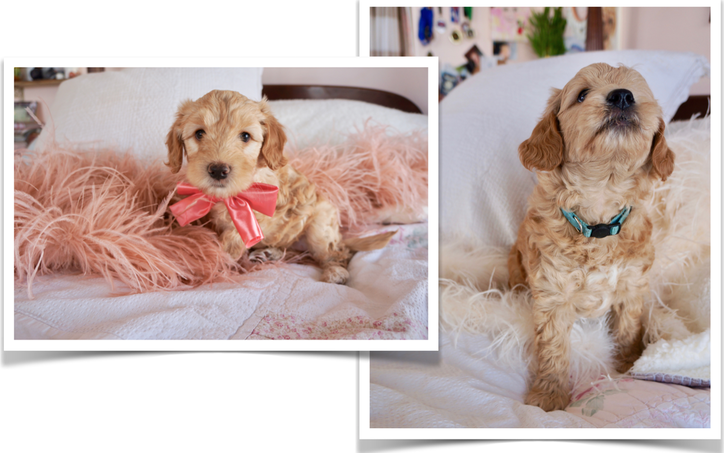 Australian Goldendoodle Puppies for Sale in Colorado, California, Utah - Miniature Bernedoodle Puppies for Sale in Utah, Colorado, California