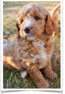 Medium Goldendoodle For Sale | Upcoming Litters - The
