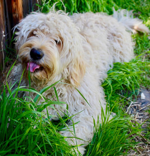 The Natural Goldendoodle - English Goldendoodle Puppies for sale