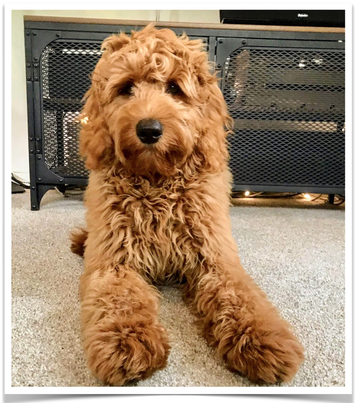 apricot colored medium english goldendoodle california