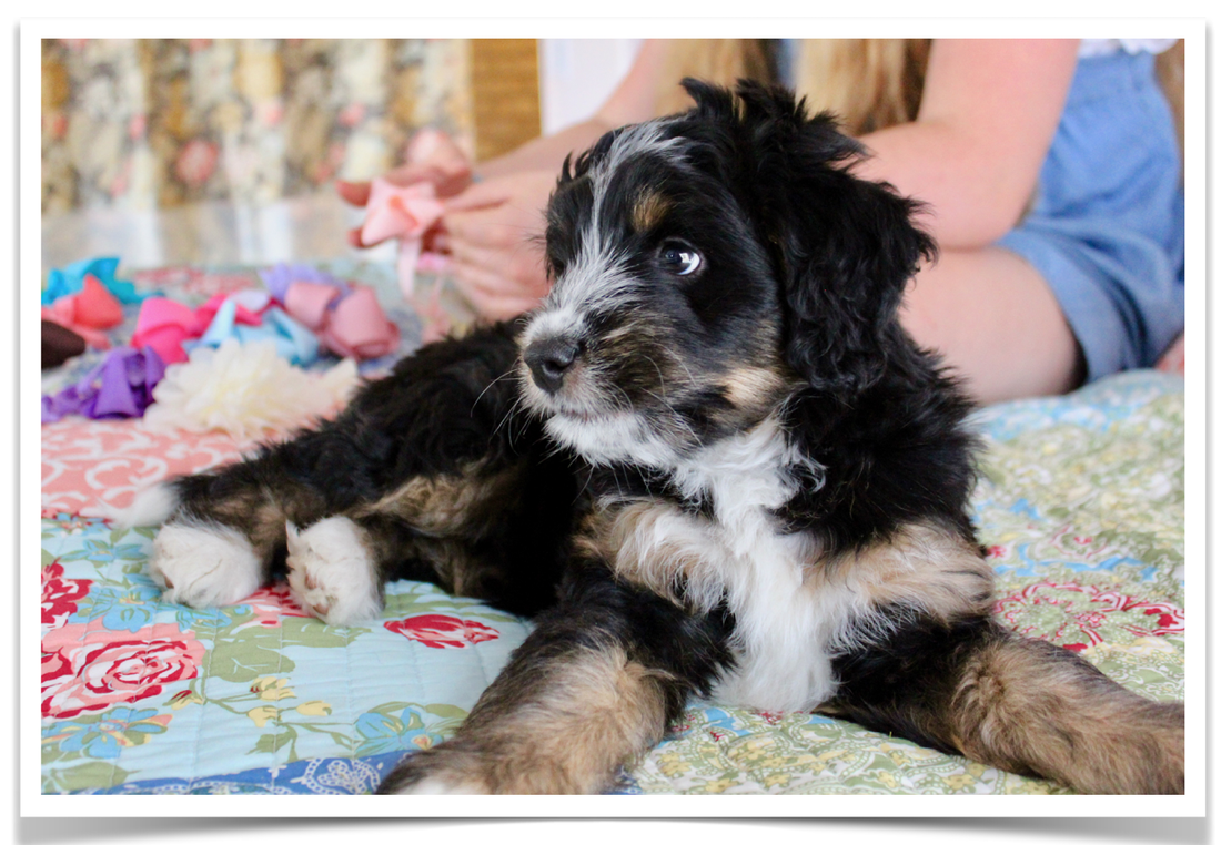 F1 Miniature Australian Bernedoodle puppy for sale